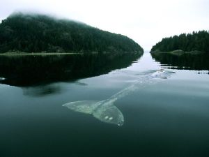 gray-whale_557_600x450